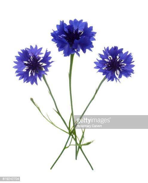 Bunch of three blue cornflowers on white.