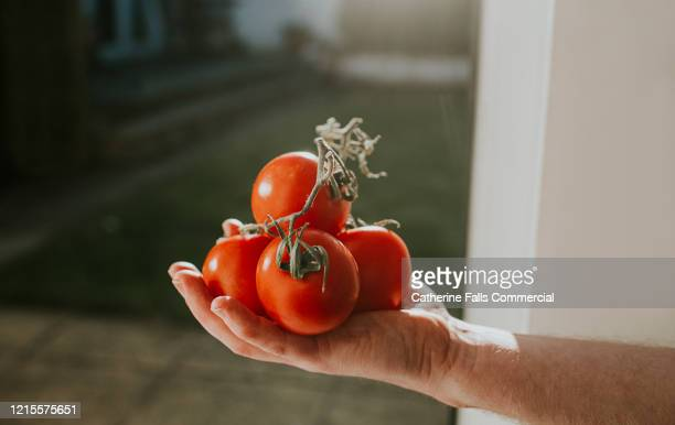bunch of tomatoes - tomato stock pictures, royalty-free photos & images