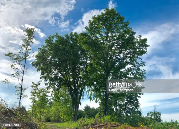 bunch of trees growing on hillside in oxford county maine usa - cappi thompson stock pictures, royalty-free photos & images