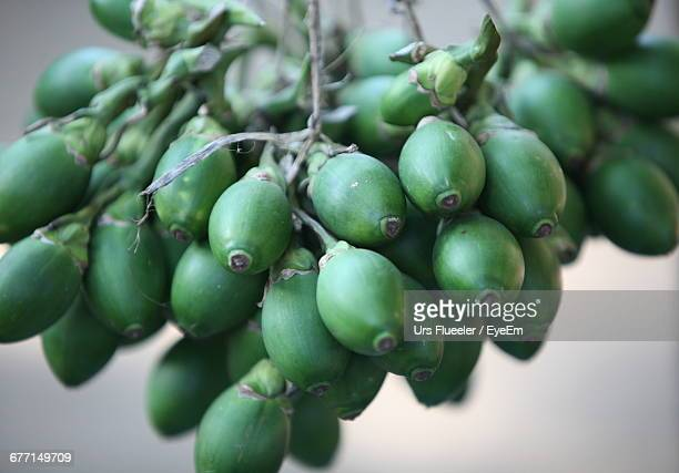 Bunch Of Unripe Areca Fruit Hanging On Branch