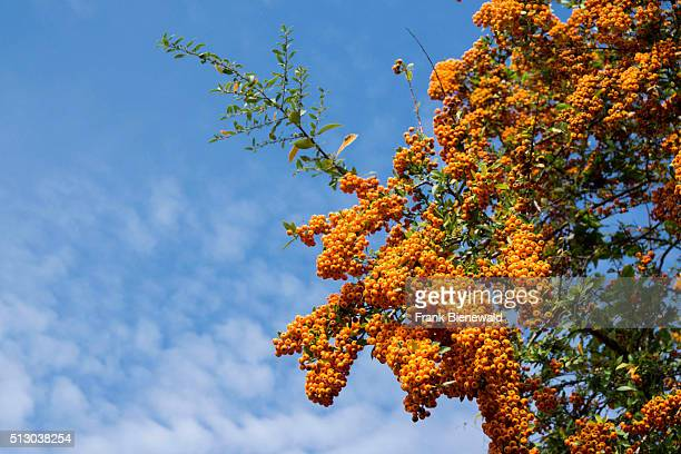 A bunch of yellow sea buckthorn berries