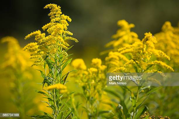 bunch of yellow wildflowers - goldenrod stock pictures, royalty-free photos & images