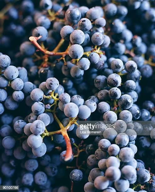 Bunches of Cabernet Sauvignon grapes