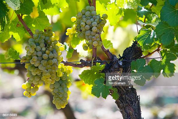 Bunches of grapes on grape vine in SauternesFrance on the estate of Chateau de Malle