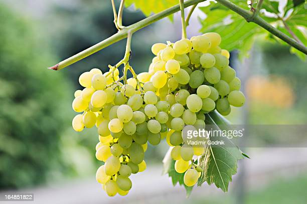 bunches of ripe white grapes hanging from a vine - white grape stock photos and pictures