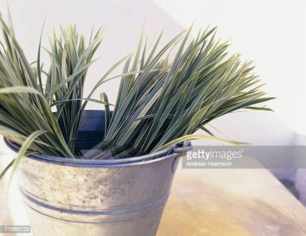 Bunches of sedge grass in tin bucket, close-up