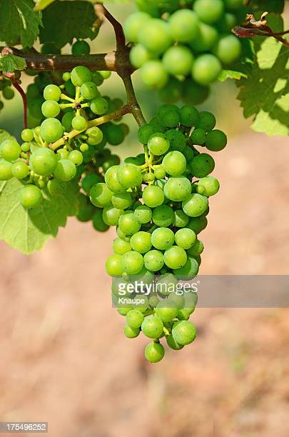 bunches of young unripe white grapes on vine - unripe stock photos and pictures