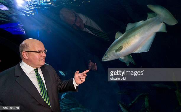 Bundesumweltminister Peter Altmaier betrachtet einen Pollack im Tunnelaquarium des Ozeaneums Stralsund Altmaier informierte sich waehrend seines...
