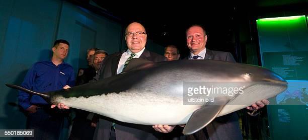 Bundesumweltminister Peter Altmaier und der Direktor des Ozeaneums Strasund Harald Benke halten ein SchweinswalPraeparat im Ozeaneum Stralsund...