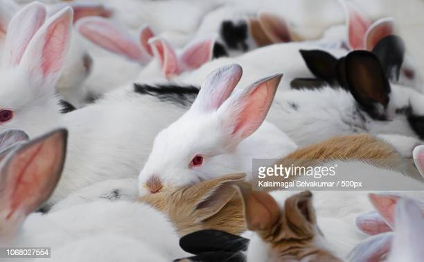 bundle of fluffy rabbits - large group of animals stock pictures, royalty-free photos & images