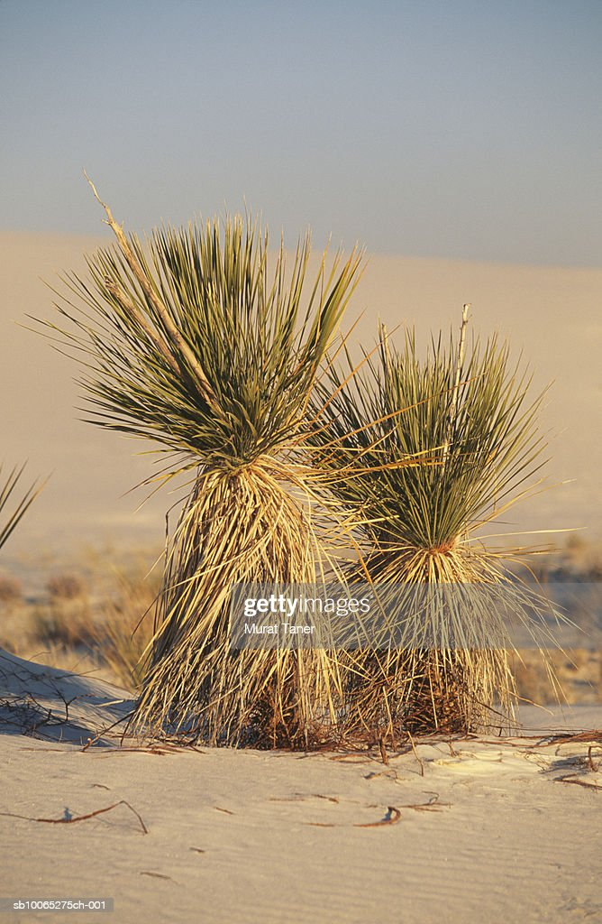 Bundle of grass at White Sands National Monument : Foto stock