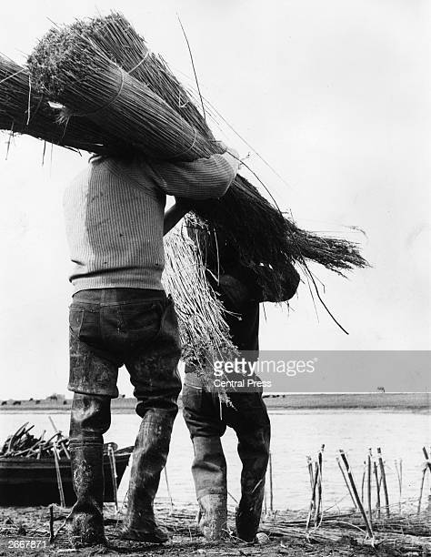 Bundles of Norfolk reeds being carried to the banks of the River Ouse to be made into large mattresses and sunk in the river to form a foundation for...