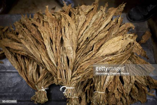 bundles of tobacco leaves sit on the floor at a cigar factory - tabakwaren stock-fotos und bilder