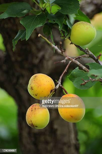 Bungo Japanese Apricots