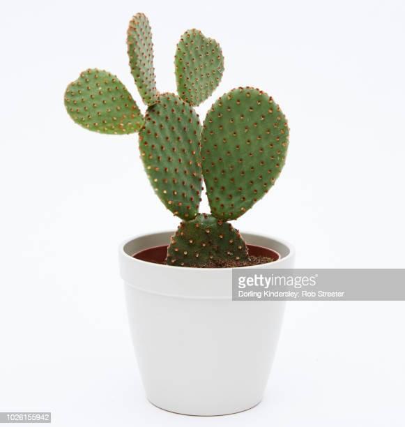 bunny ears cactus, opuntia microdasys - 鉢植え ストックフォトと画像