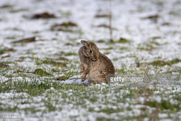 Bunny in the snow. The Netherlands wakes up snow covered after an intense morning snowfall, a bizzar event for April. The second day of low...