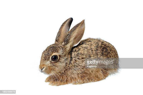 bunny - brown hare stock pictures, royalty-free photos & images