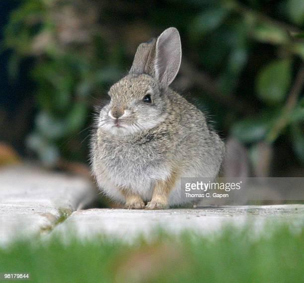 bunny - santa clarita stock pictures, royalty-free photos & images