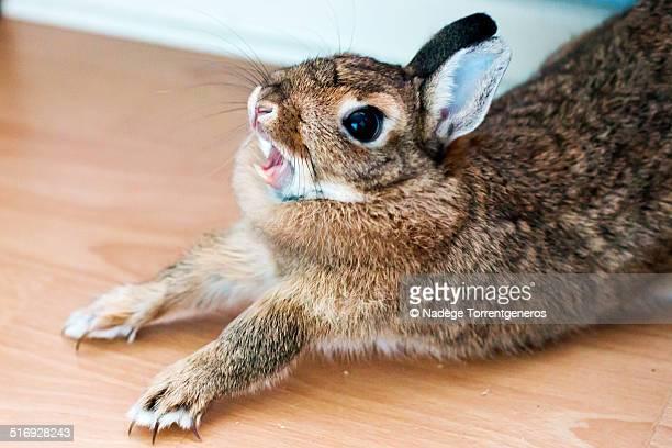 bunny rabbit yawning - ウサギ肉 ストックフォトと画像