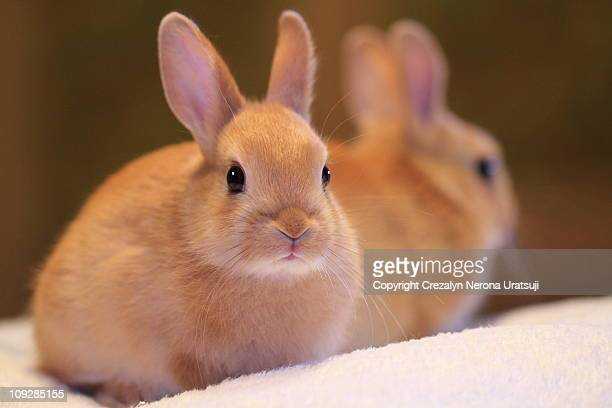 bunny with reflection - lagomorphs stock pictures, royalty-free photos & images