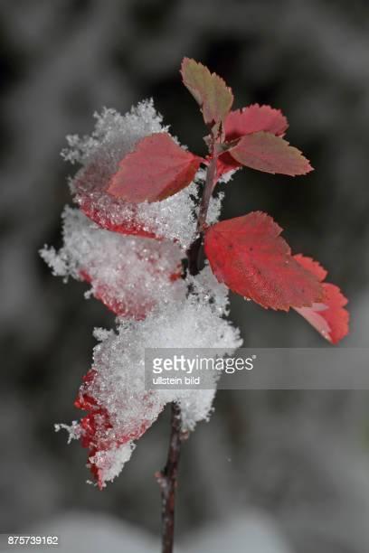 Bunte Blaetter schneebedeckt
