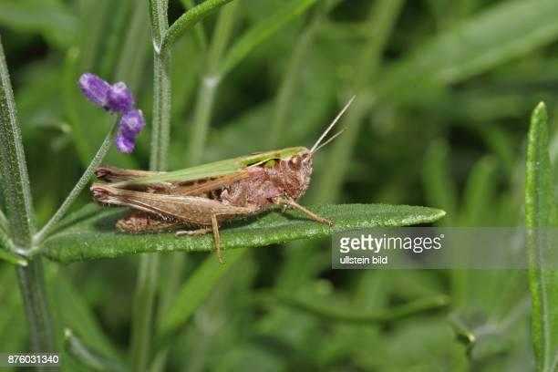 Bunter Grashuepfer Weibchen auf gruenem Blatt sitzend rechts sehend