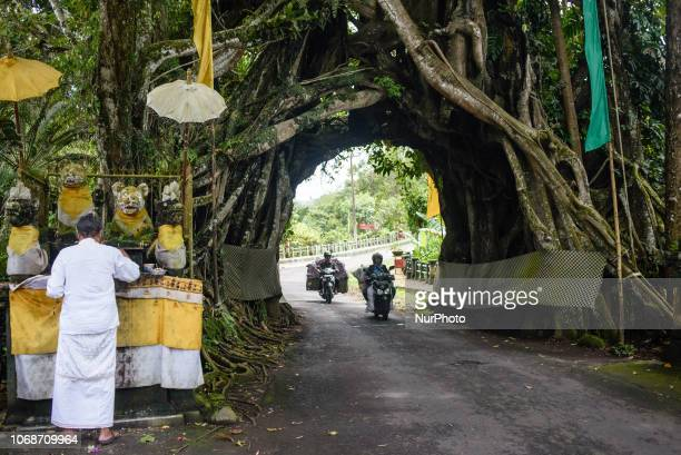 Bunut Bolong the giant hollow banyan tree in the village of Manggisan Jembrana Regency Bali Indonesia in December 2018 The tree is a natural landmark...