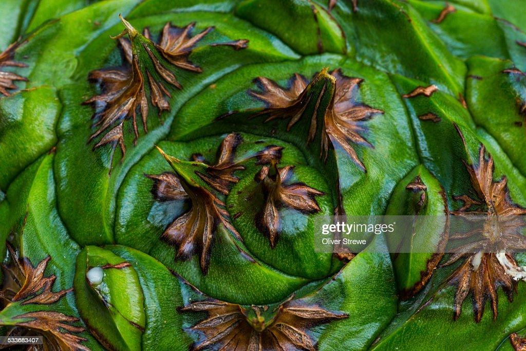 Bunya Pine nut : Foto stock