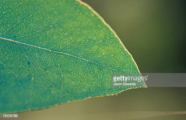 The backlit detail of a Eucalypt Gum leaf and delicate veins.