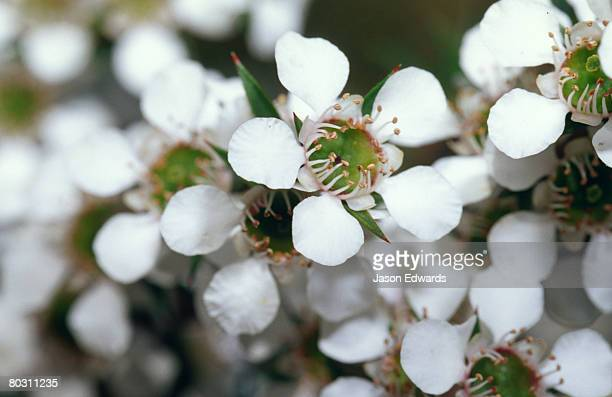 the delicate white petals and stamen of the manuka flower. - manuka stock photos and pictures