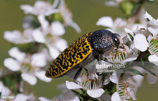 a brightly colored jewel beetle feeding on manuka blossom pollen. - manuka stock photos and pictures