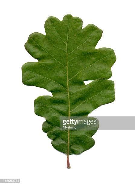 bur foglia di quercia, quercus macrocarpa - foglia di quercia foto e immagini stock
