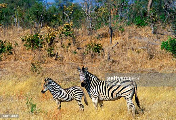 Burchell's Zebra and foal in Northern Botswana Africa