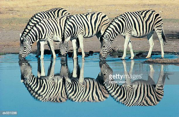 burchells zebra (equus burchelli) drinking at waterhole, etosha, namibia - zebra stock pictures, royalty-free photos & images