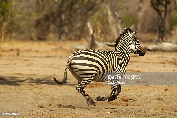 Burchell's Zebra, Equus burchelli, running