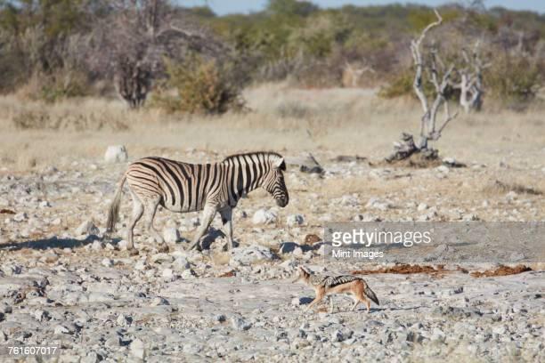 Burchells zebra, Equus quagga burchellii, and a black-backed jackal, Canis mesomelas, walking through grassland.