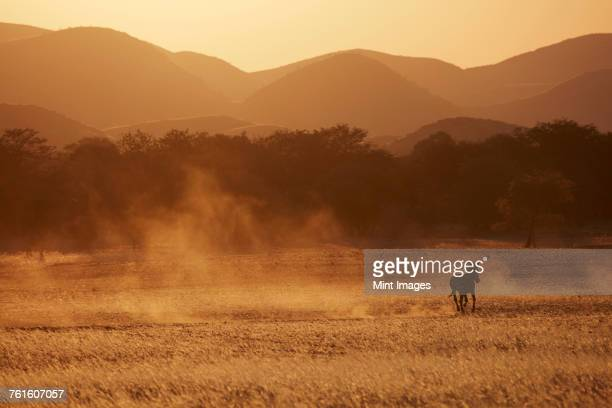 a burchells zebra, equus quagga burchellii, running through grassland and kicking up dust clouds. - gras stock pictures, royalty-free photos & images