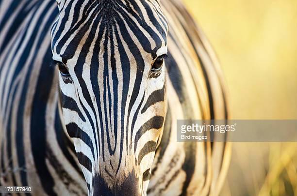 Burchell's Zebra Face - South Africa