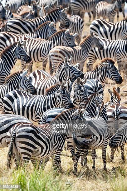 Burchell's zebra herd