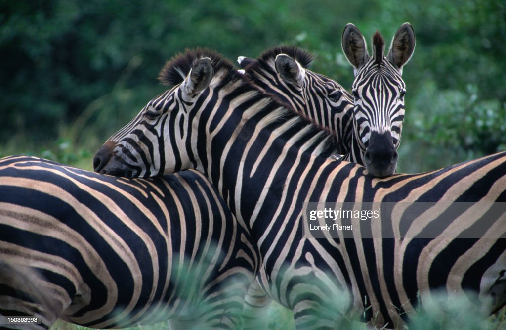 Burchells' Zebra, Kruger National Park. : Stockfoto