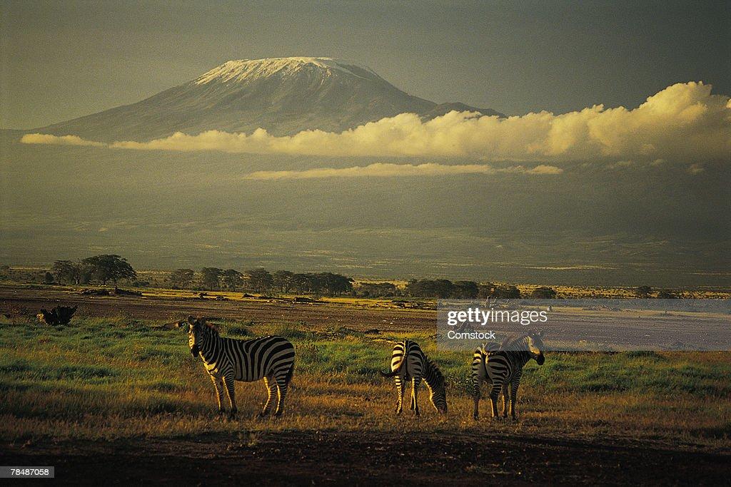 Burchell's zebra , Mt. Kilimanjaro , Amboseli National Park , Kenya , Africa : Stock Photo