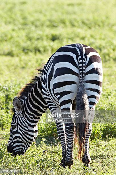Burchells Zebra or Plains Zebra -Equus quagga-, Ngorongoro Crater, Tanzania, Africa