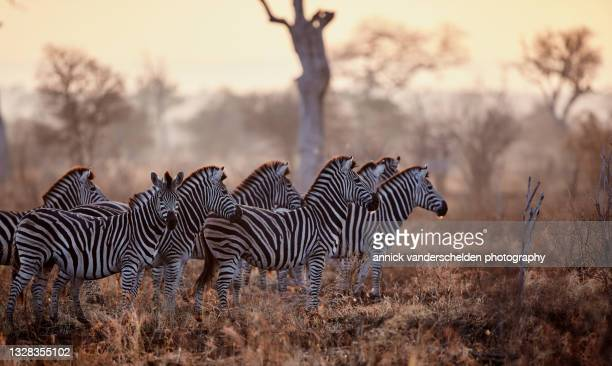 burchell's zebra - south africa stock pictures, royalty-free photos & images