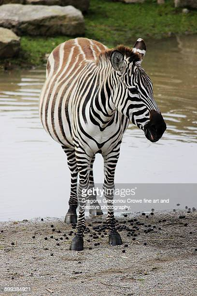 burchell's zebra (equus burchellii) - gregoria gregoriou crowe fine art and creative photography stock-fotos und bilder