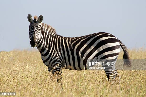 burchell's zebra - animated zebra stock pictures, royalty-free photos & images