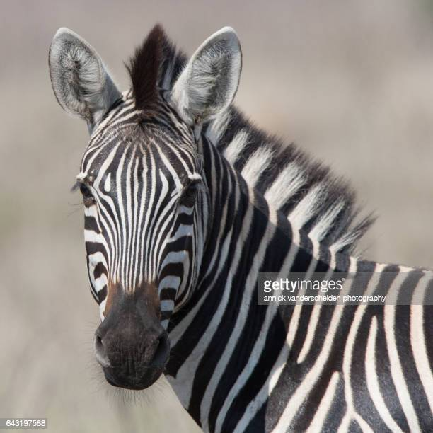 burchell's zebra (equus quagga burchellii). - zebra stock-fotos und bilder