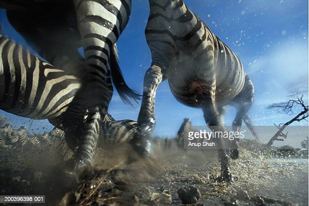 burchell's zebra (equus burchelli) running, low angle view - stampeding stock pictures, royalty-free photos & images