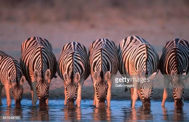 Burchell's Zebras Drinking at Water Hole