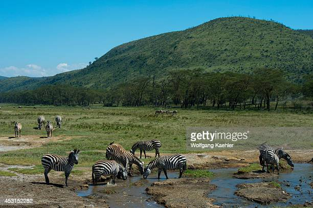 Burchells zebras drinking from a creek at Lake Nakuru National Park in the Great Rift Valley in Kenya