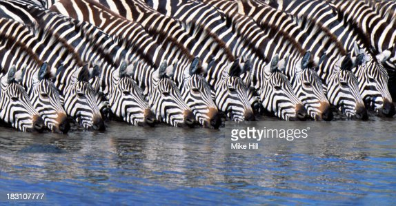 Burchell's zebras drinking from a river, photoshopped.